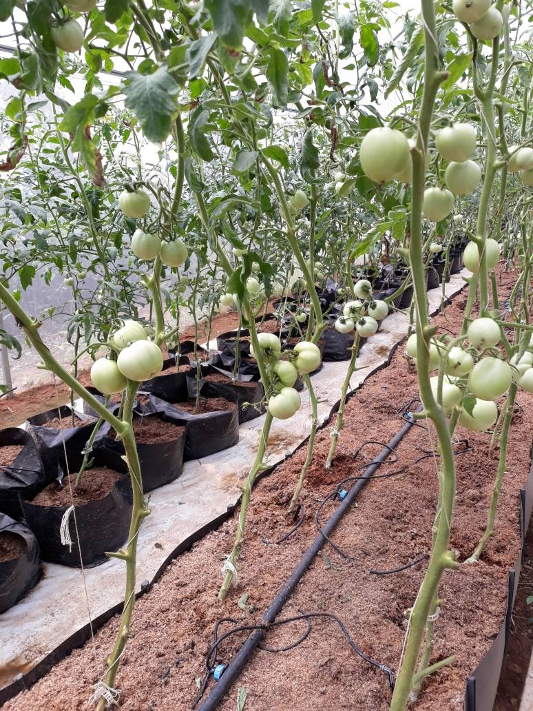 hydroponics, tomatoes, soil less farming, BIC Farms