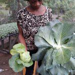 cauliflower,hydroponics, BIC farms