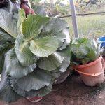 BIC Farms, hydroponics, vegetable